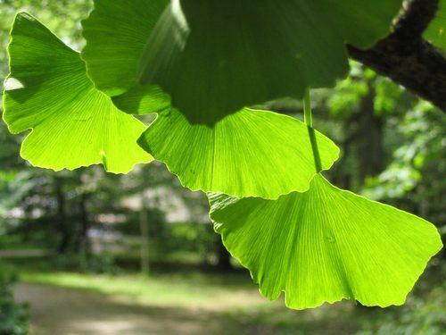 feuilles-ginkgo-biloba-2